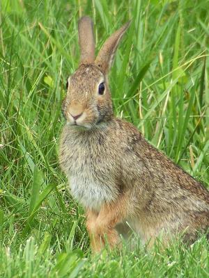 el reino animal conejo - omas terrestres